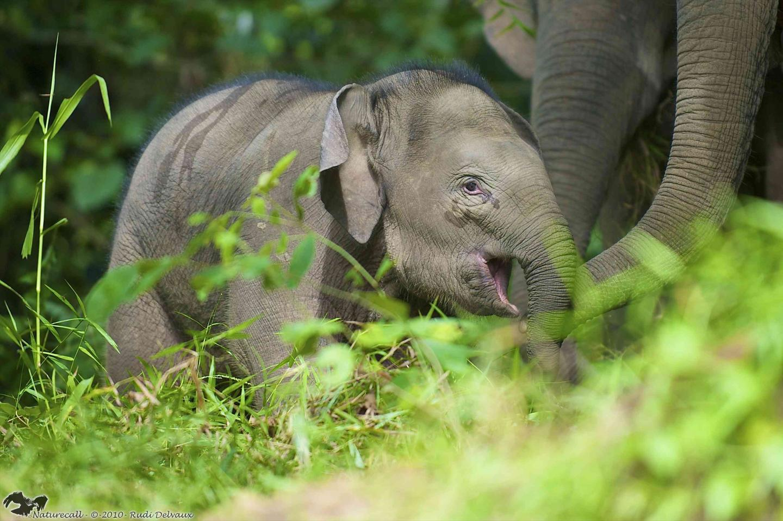 Bornean Elephant