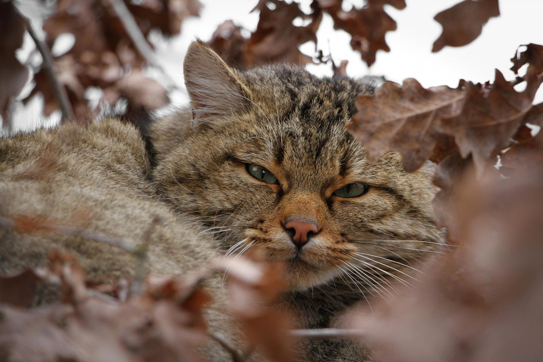 The European wildcat