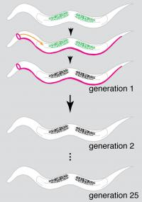 Gene Silencing Mechanism in <i>C. elegans</i>