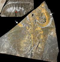 <i>Anomalocaris canadensis</i> Fossil