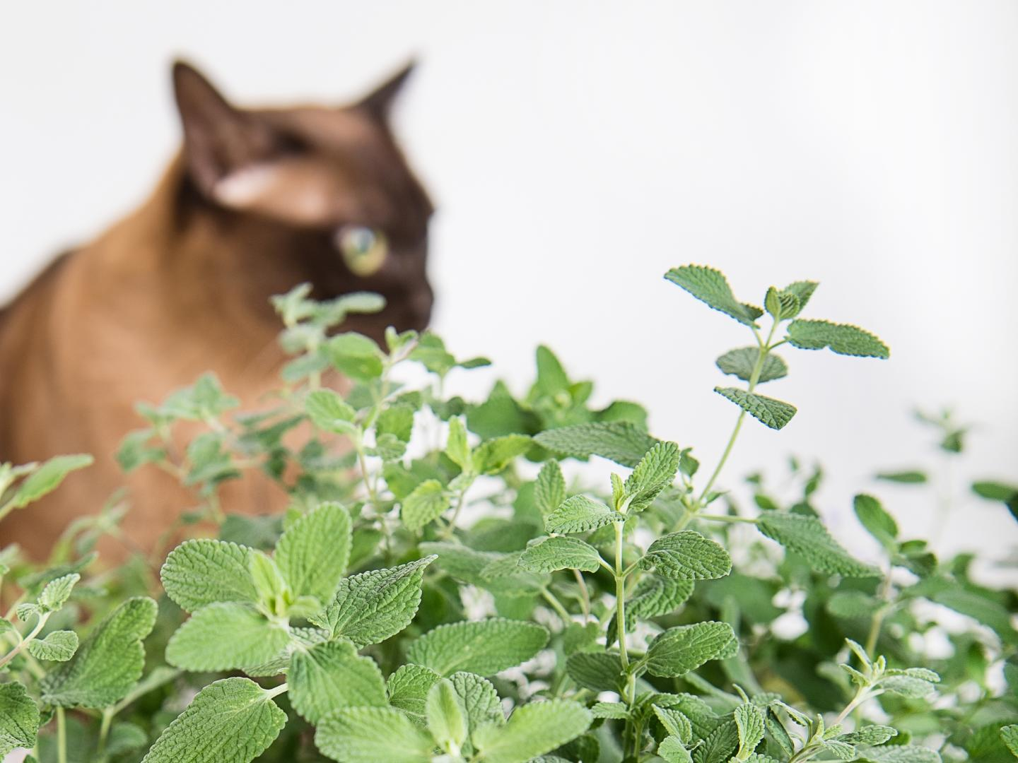 Cat and Catmint