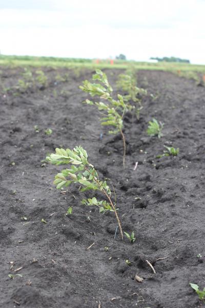 Black Locust Seedlings