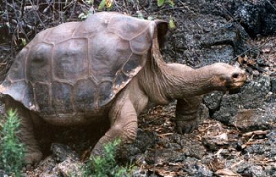 Lonesome George, Giant Galapagos Tortoise