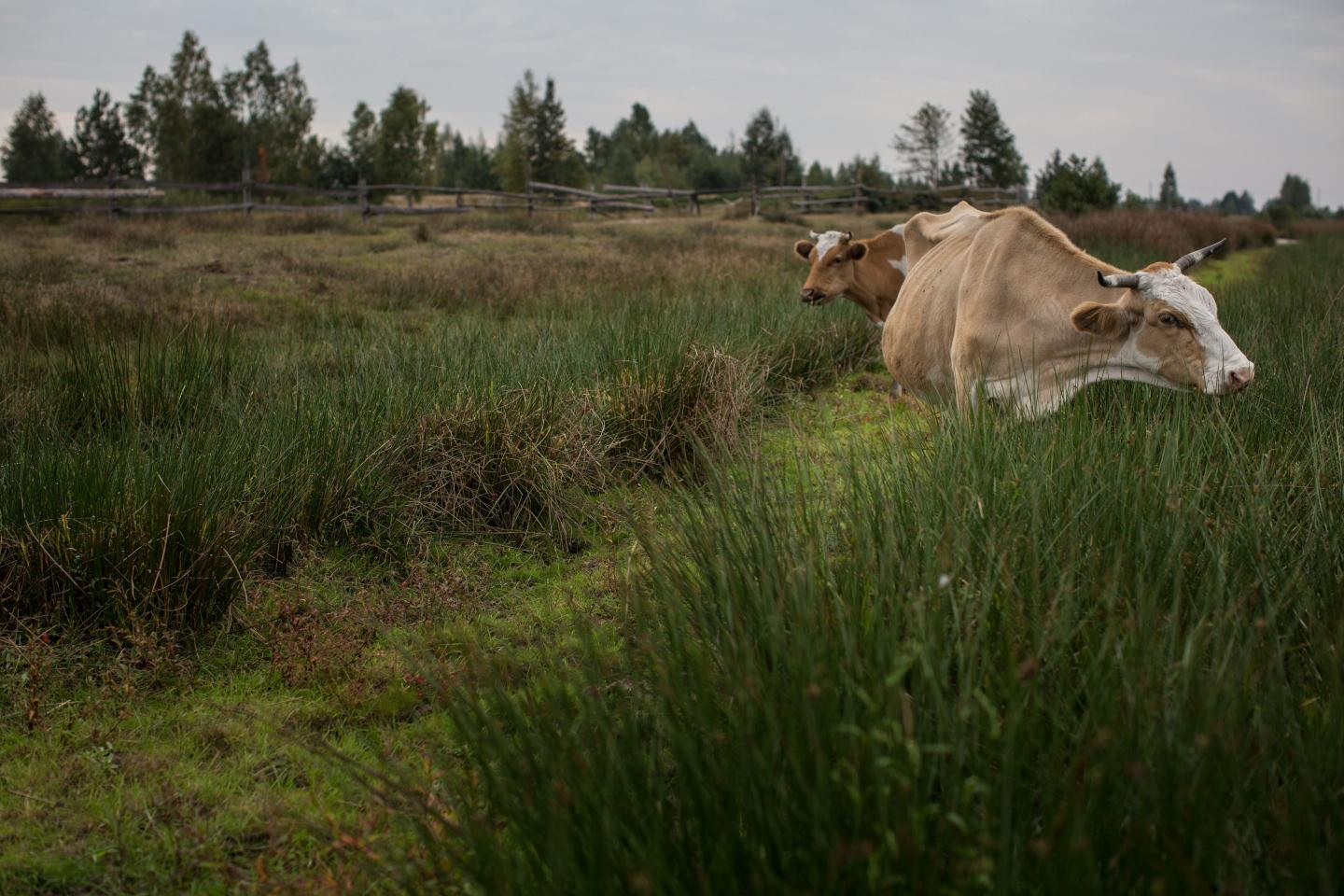Cows on the Marshes in the Rivne Region