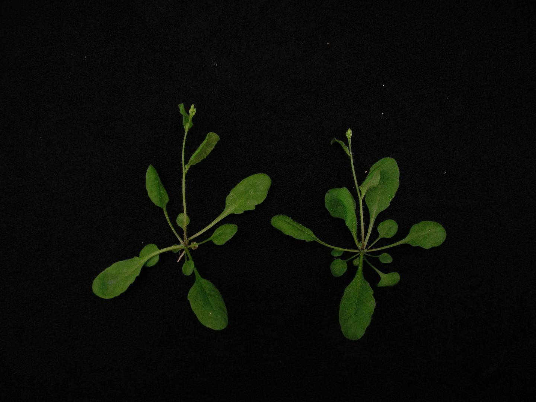 <em>Arabidopsis</em> Plants