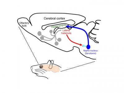 Schematic Drawing of the Habenular Neural Circuit Examined in the Current Study