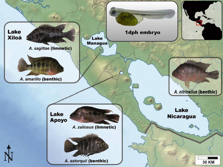 Sympatric Speciation of Midas Cichlid Fish