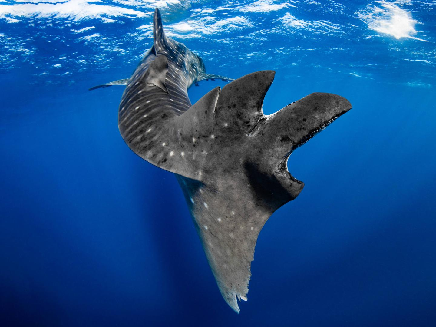 The Tail of a Whale Shark, Showing Massive Scarring