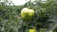 Green tomato with bacterial speck disease