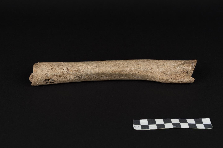Neandertal Femur