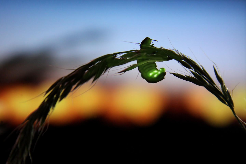 Fireflies Under Environmental Threat