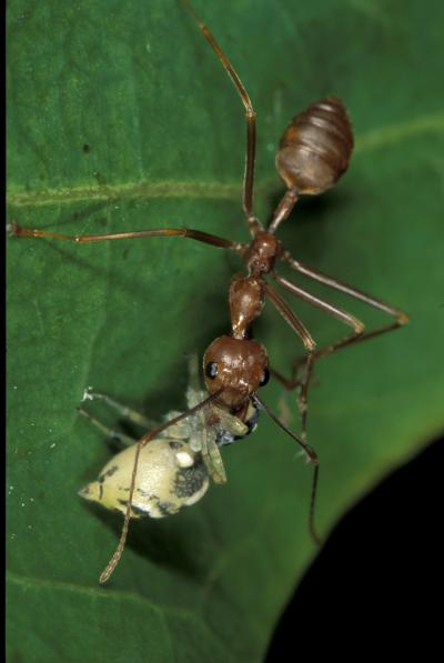 Weaver Ant and the Jumping Spider