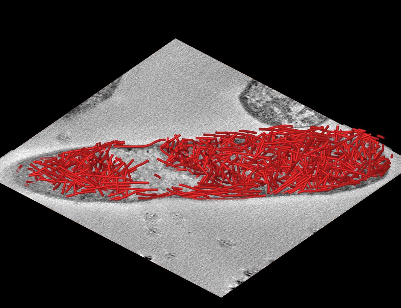 Tubular Scaffolds in Cells