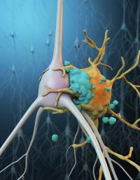Sylized Illustration of Microglia Phagocytosis of a stressed neuron