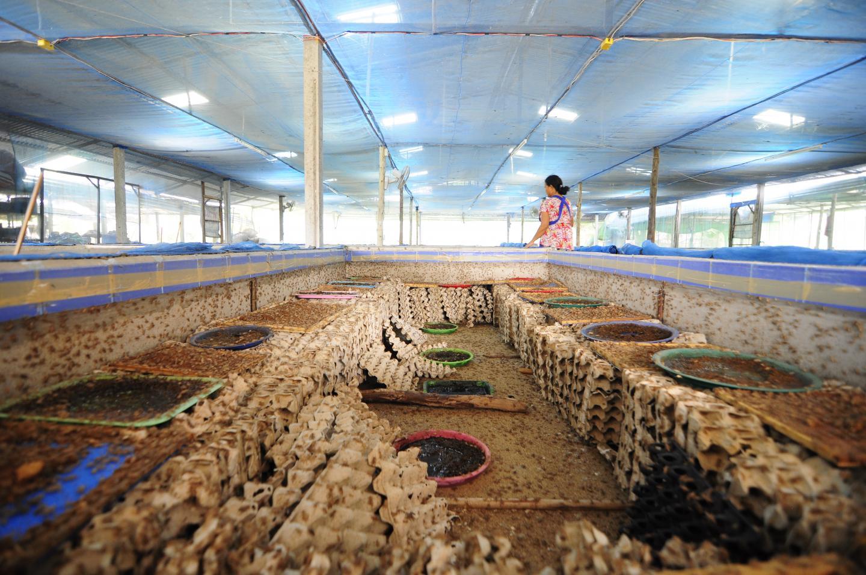 A Cricket Farm in Mahasalakam Province, Thailand