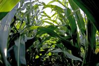 How Green is Corn?