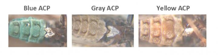 The Three Color Morphs of the Asian Citrus Psyllid