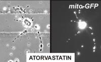 Statins Cause Mitochondria to Pile Up