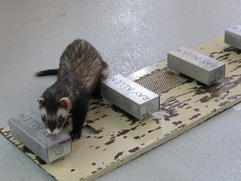 Trained ferrets can smell avian flu in duck poo!