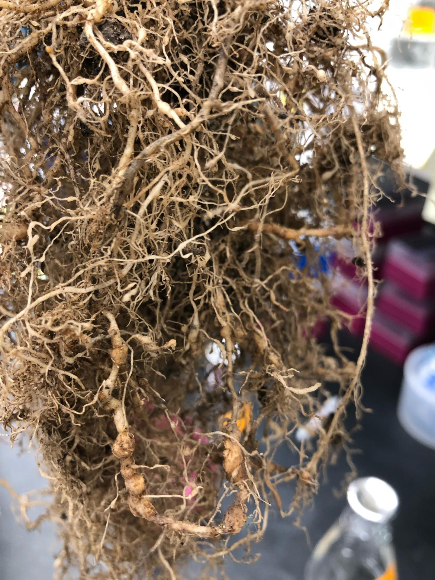 Tomato Roots Infested with Nematodes