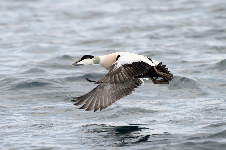 Flying Eider Duck