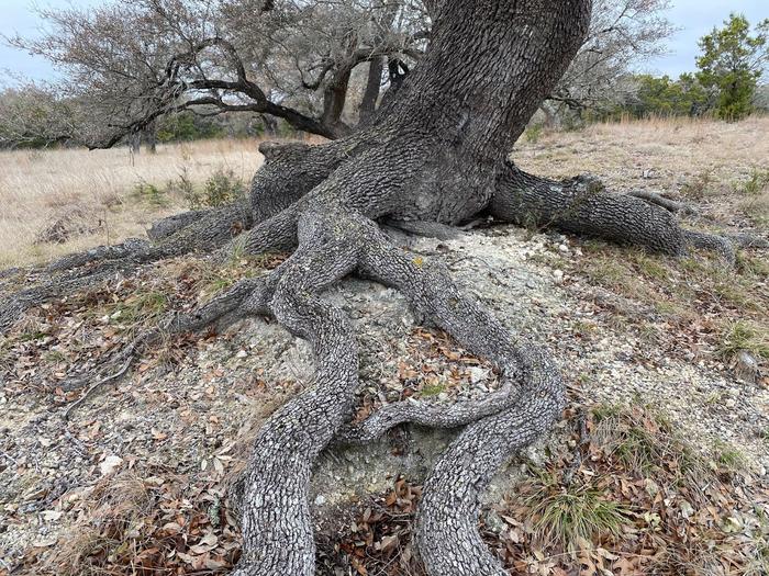 Oak tree rooting into bedrock