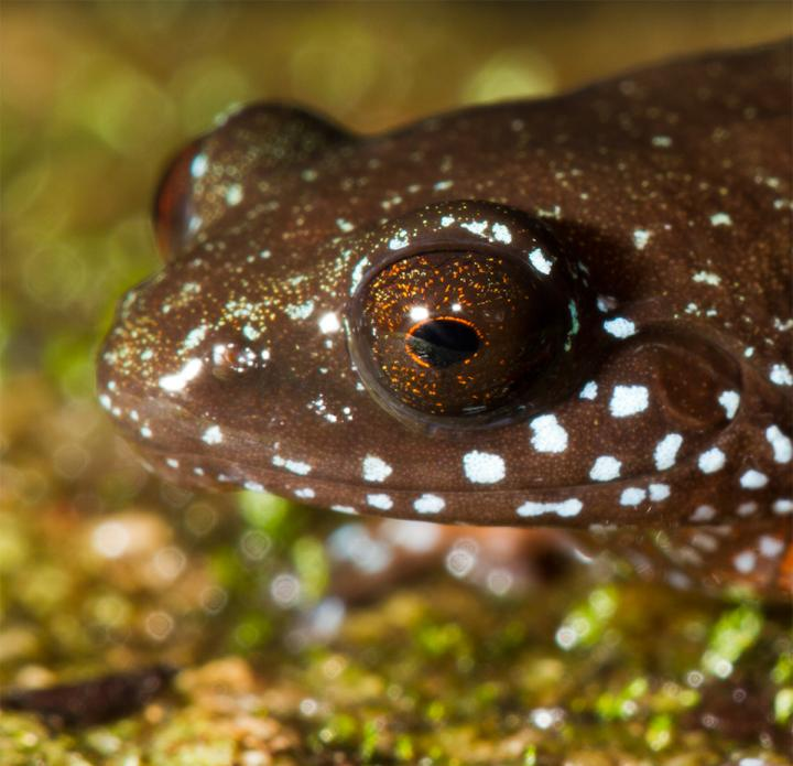 Starry Dwarf Frog Adds to Western Ghats' Rich Frog Diversity