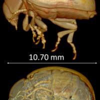 Colorado Potato Beetle, Scanned with Micro-CT