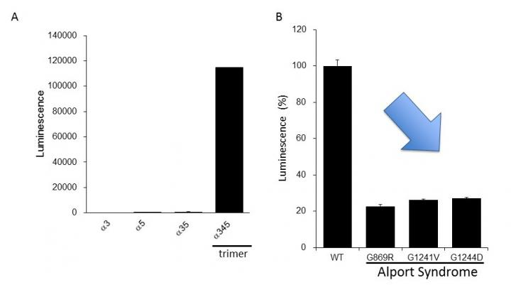 Evaluation of the Clinically Reported Mutation of the Alpha-5 Chain during Trimer Formation