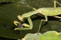 The Mantis Eating a Guppy