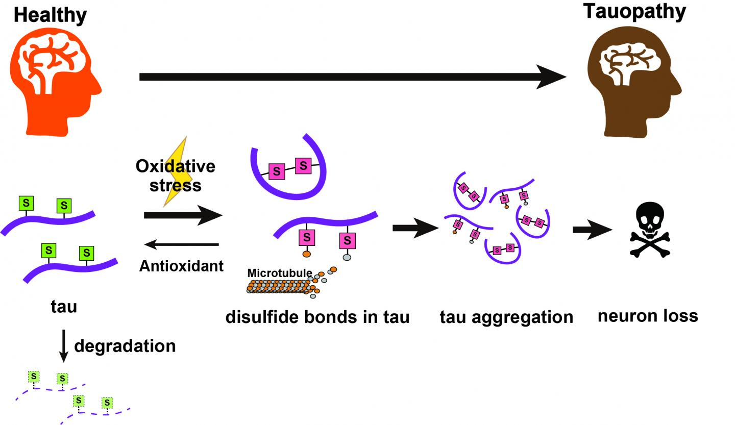 Toxic tau accumulation in tauopathies
