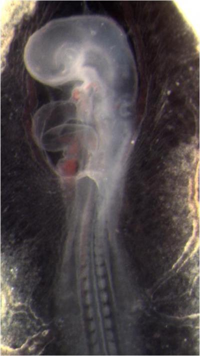 Quail Embryo