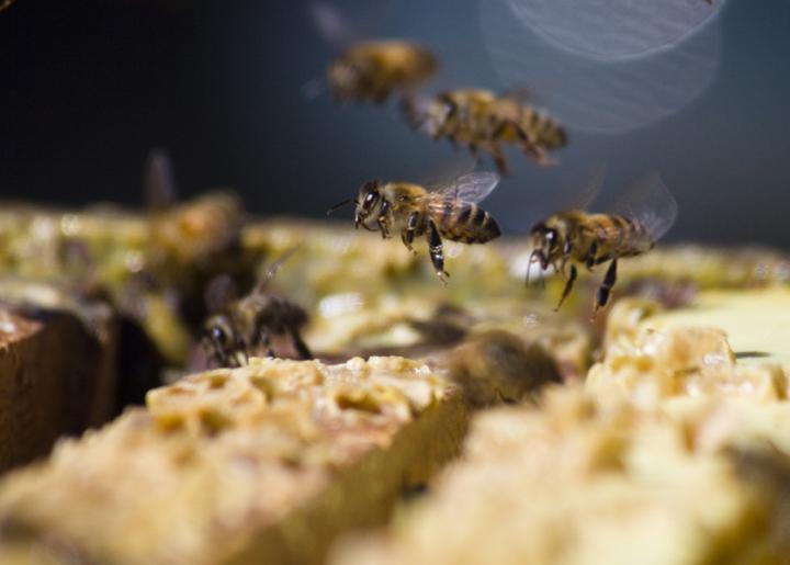 Similarities Found in Bee and Mammal Social Organization