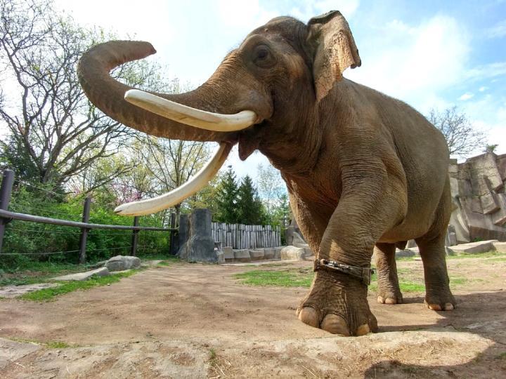 Male Asian Elephant Wearing An Activity Tracker