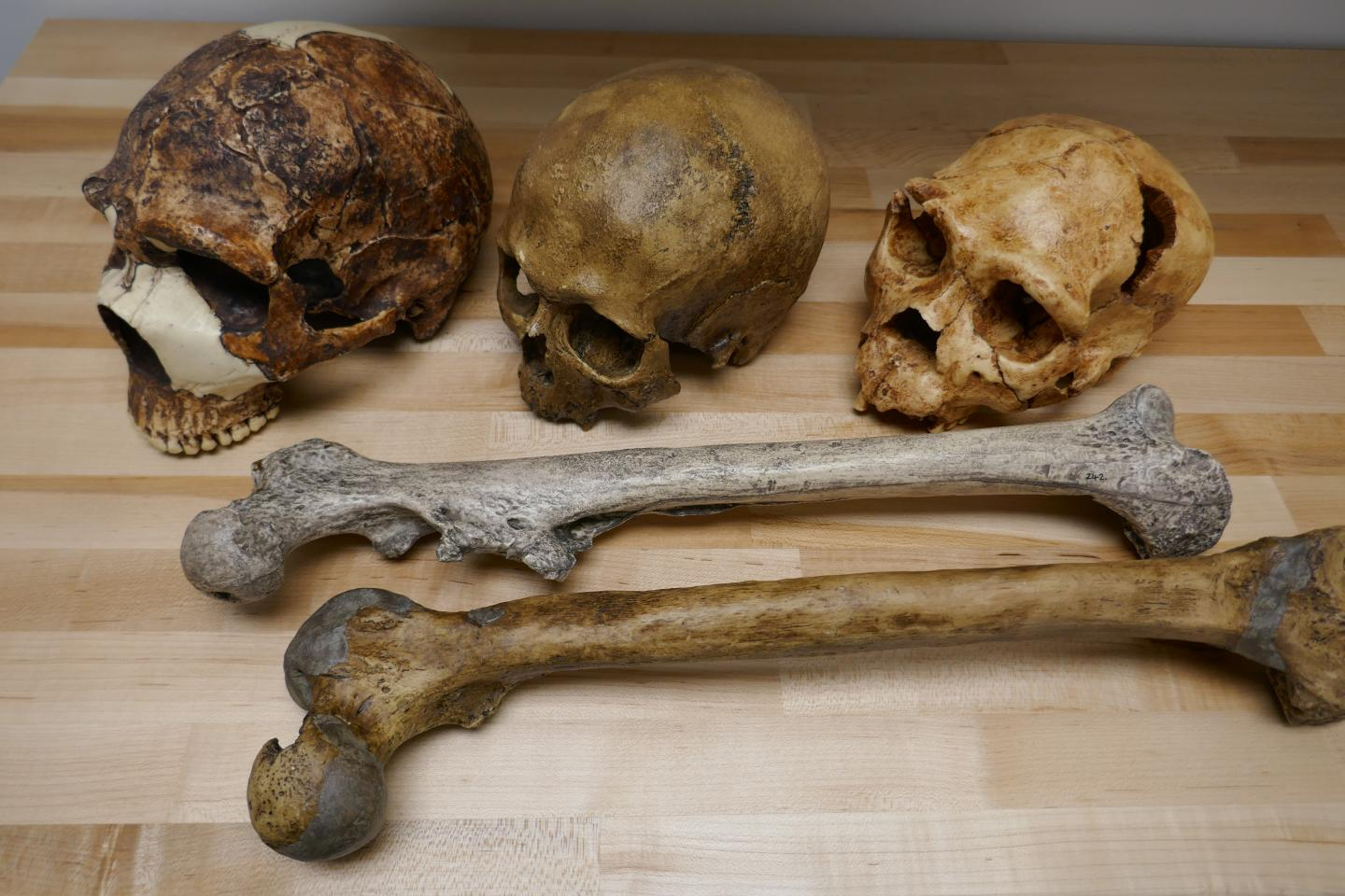 Human fossils illustrating the variation in brain (skulls) and body size (thigh bones) during the Pleistocene.