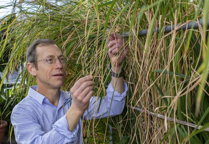Rice Researcher Kenneth M. Olsen Inspects Rice