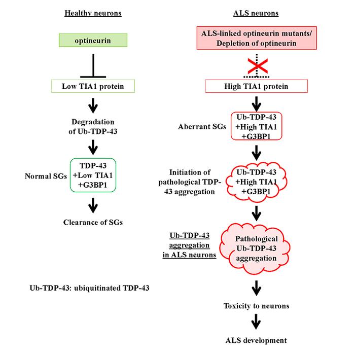 Figure 1. Development of ALS
