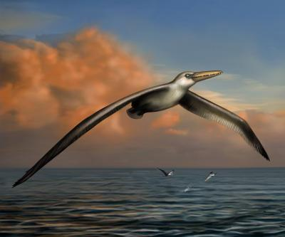 Reconstruction of <I>Pelogornis sandersi</I>