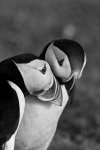 Puffins Are Known For Their Long-Lived, Monogamous, Soulmate Pairings