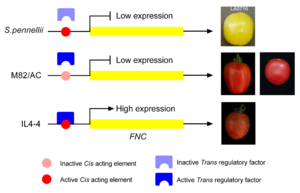A novel fruit 'netted-cracking' (FNC) phenotype was discovered in tomato