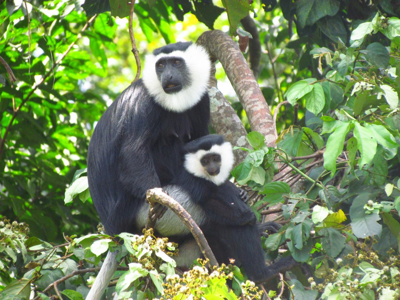 Wild Ursine Colobus Monkey with Child
