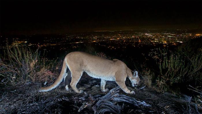Mountain lion on bluff