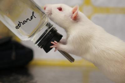 Rat Embracing Alcohol