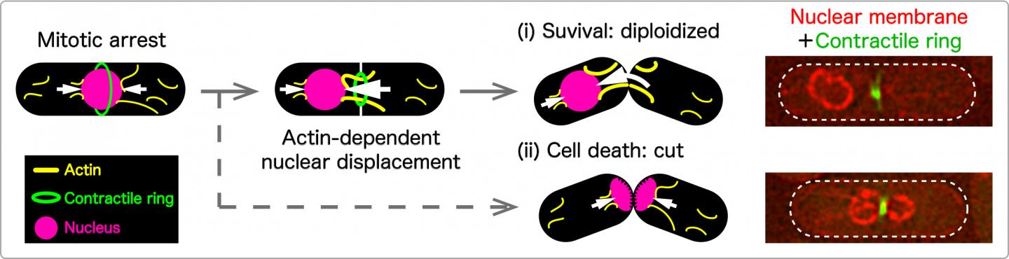 Actin-dependent nuclear displacement observed in several mitotic mutants in fission yeast.