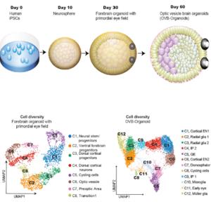 Development of brain organoid with optic cups