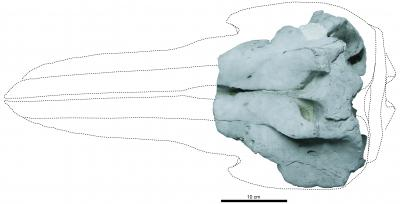The Skull of the Holotype of <i>Eodelphis</i> in Dorsal View