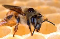 Varroa mite on honey bee