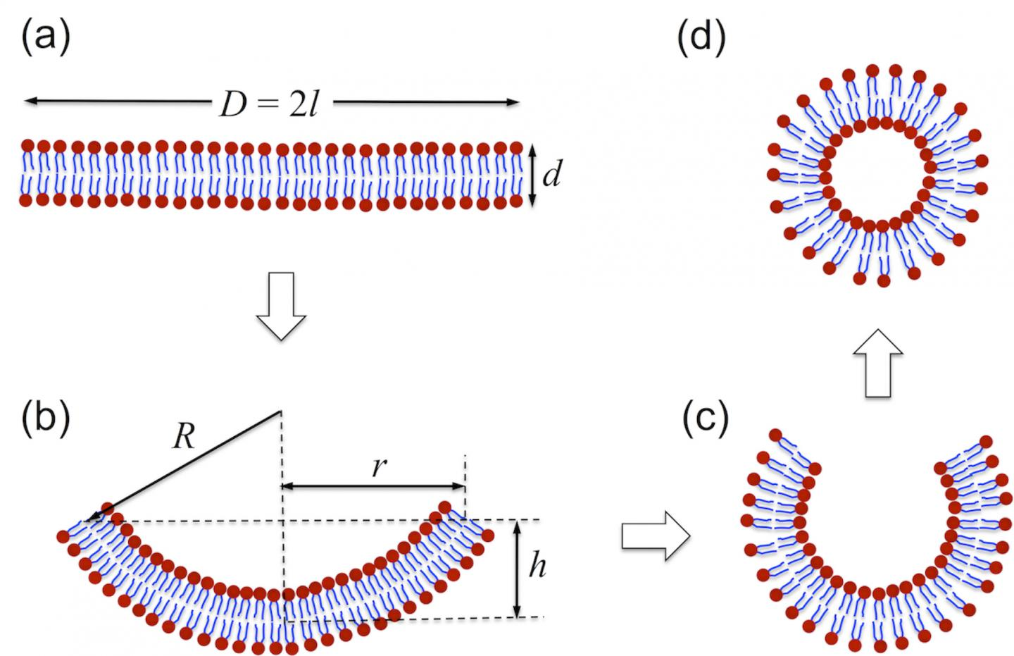 A Schematic Illustration of Vesicle Formation Via Self-Assembly