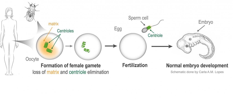 Scheme of the Cellular Mechanism