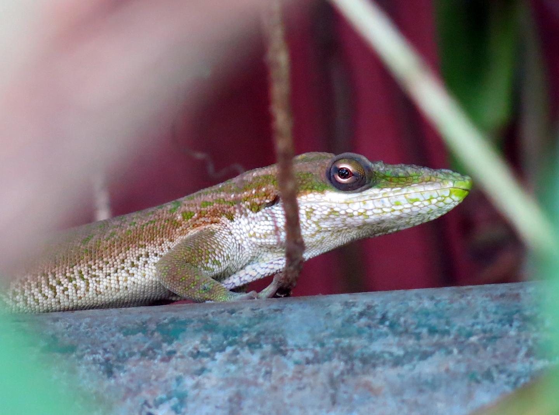 <i>Anolis porcatus</i>: Predatory Lizard Enters Brazil Clandestinely